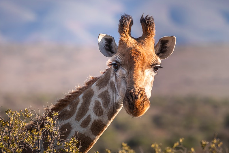 animals with no vocal cords - Giraffes
