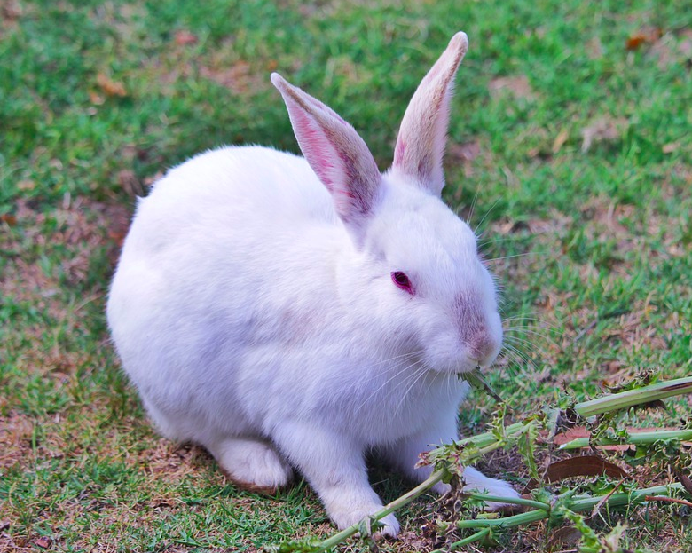 animals with no vocal cords - rabbit