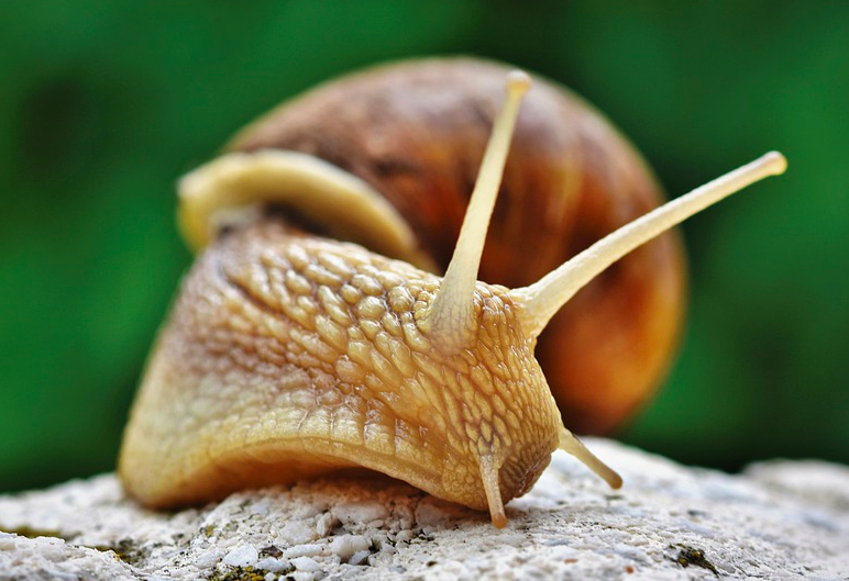 animals with no vocal cords - Snails are both quiet and slow