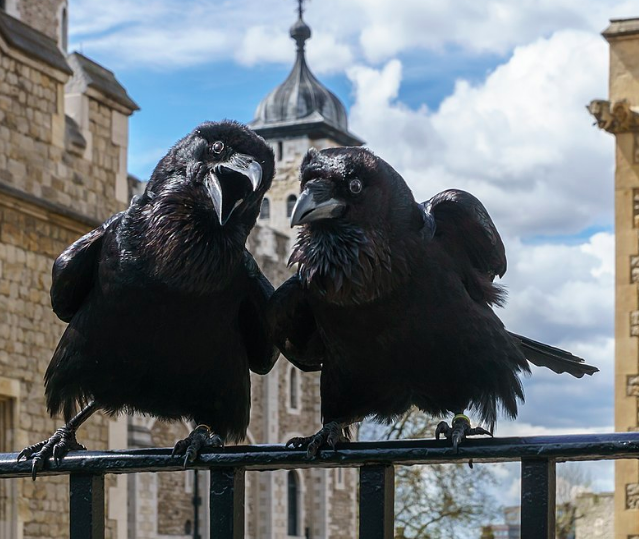 Jubilee and Munin, two of the London Tower's ravens in 2016