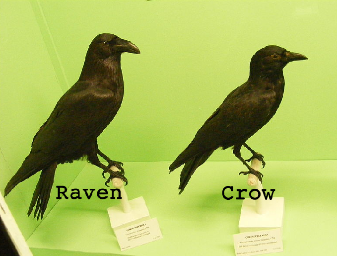 Are ravens and crows the same